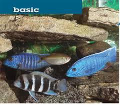 large african cichlids
