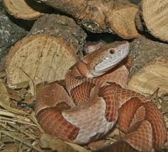 copperhead images