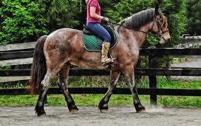 draft cross horse