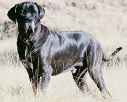 brazilian mastiff dogs