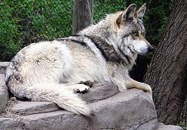endangered animals in america