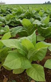 photos of tobacco