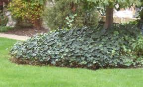ground cover ivy