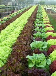 hydroponic farming