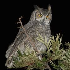 pictures of great horned owls
