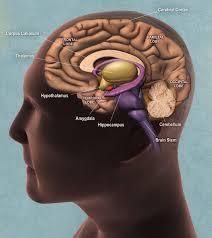 hypothalamus hippocampus