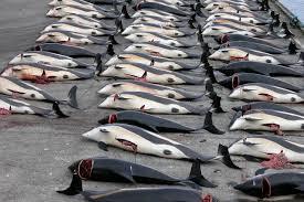 faroe islands whaling