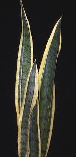 sansevieria trifasciata laurentii