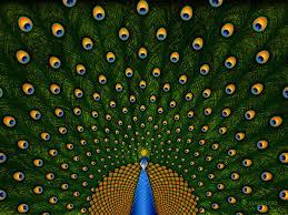 peacocks drawings