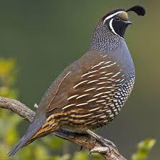 quail photos