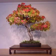 acer rubrum bonsai