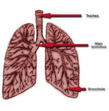 diagram of human lung