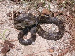 pictures of rat snake