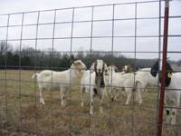 goat fences