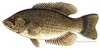 bass fishes