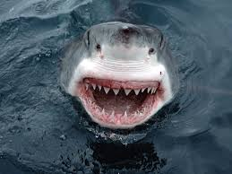 pictures of a great white shark