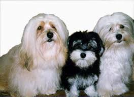 pictures of havanese