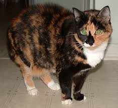 black calico cat