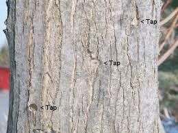 maple trunk