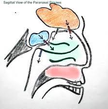 human sinus anatomy