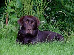chocolate brown labs