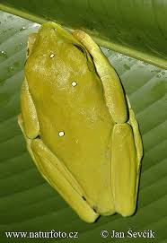 gliding tree frogs