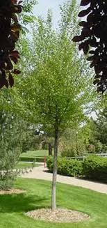 hornbeam tree picture