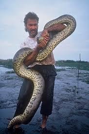 anaconda snakes