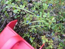 blue berry rake