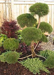 garden evergreens
