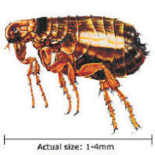 animal flea
