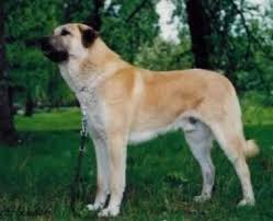 anatolian shepherd dog breed