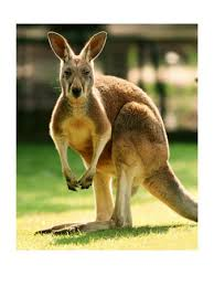 picture kangaroo