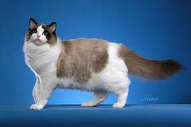 ragdoll cats pictures