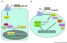 canonical wnt signaling