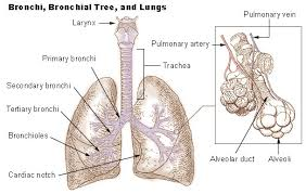 lungs parts