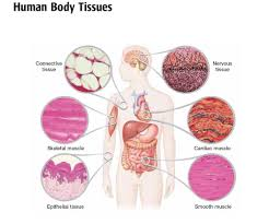 animal cells and tissues
