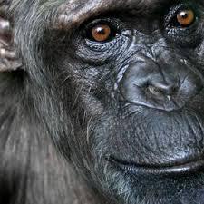 human chimps