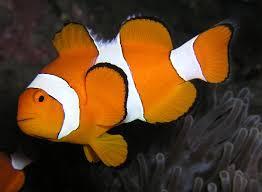 external image clownfish.jpg