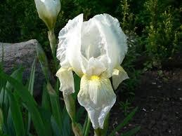 iris florentina