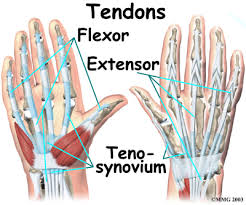 anatomy of the hand tendons