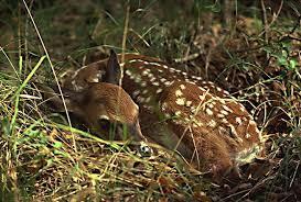 baby deer fawn
