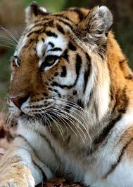 endangered animals in asia