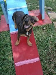 miniature pinscher dachshund