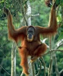 orangutan sumatran
