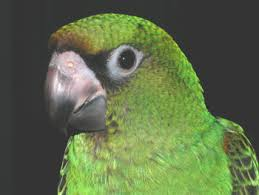jardine parrots
