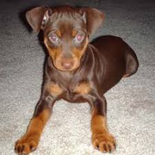 mini pinscher puppies