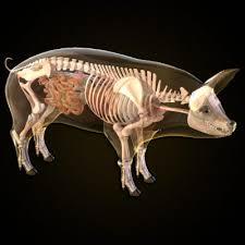 anatomy of pig