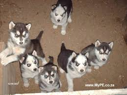 husky puppies breeders