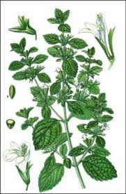 melisse plante